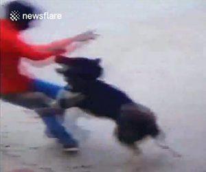 【動画】インドで泥棒が壁を乗り越え敷地内に侵入するが秋田犬が泥棒に襲いかかり撃退する