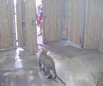 【動画】動物園で男性が誤ってヒョウの扉を開けてしまいヒョウが脱走してしまう衝撃映像