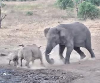 【動画】ゾウ VS サイ 子供のサイを守る為、母サイが巨大なゾウに突っ込むが…