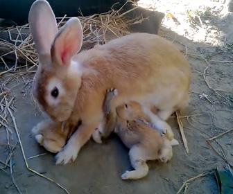 【動画】子ウサギ達が必死に母ウサギのおっぱいを奪い合う衝撃映像