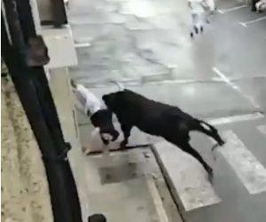 【動画】牛追い祭りで男性が暴れ牛にお尻を刺される衝撃映像