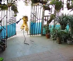 【動画】家に帰ってきた女性が巨大な蛇に襲われる衝撃映像