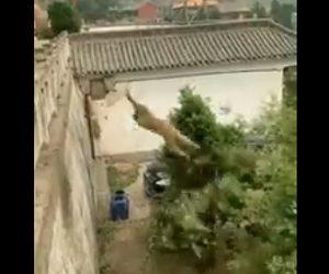 【動画】猿が木を必死に揺らし反動を使って高い塀を登る衝撃映像