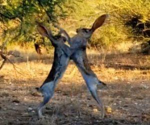 【動画】2羽のウサギが激しい戦い。両足で立ち殴りまくる衝撃映像