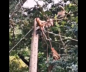 【閲覧注意動画】電線で感電したサルを仲間のサル達が助けようとするが…