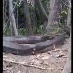 【動画】ブラジルで13mの巨大アナコンダが発見される衝撃映像