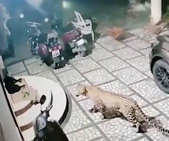 【動画】玄関前で寝ている犬にヒョウが襲いかかる衝撃映像