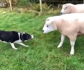 【動画】牧羊犬(ボーダーコリー)が賢すぎる!頭から突っ込んで暴れる羊を柵に入れる衝撃映像