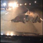 【動画】車に撥ねられた子熊を母熊が必死に車道から移動させようとする衝撃映像