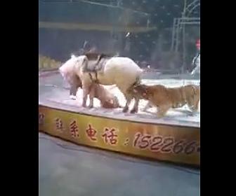 【動画】サーカスで調教師が必死に止めるが2頭のトラが馬に襲いかかってしまう衝撃映像