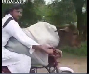【動画】バイクに乗せて牛を運ぶ男性が凄い