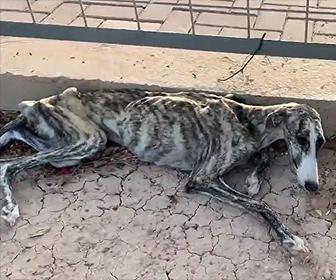 【動画】道で倒れているガリガリの犬(グレイハウンド)を助けてあげる衝撃映像