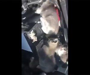 【動画】寒さをしのぐため車のエンジンルームに隠れている子猫達