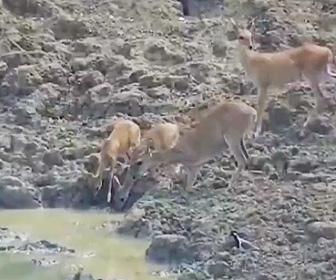 【動画】野生のシカが水飲み場で水を飲もうとするが水中から巨大生物が現れ…
