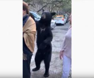 【動画】野生のクマが人間に近づき女性の髪を撫でる衝撃映像