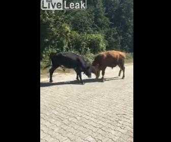 【動画】激しく戦う2頭の牛を車から見てると…
