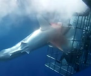 【動画】ケージダイビングでケージの隙間に巨大なホホジロザメが突っ込んでくる衝撃映像