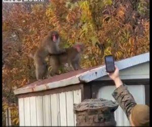 【動画】兵士がサルの交尾をスマホで撮影しようとするがサルに気付かれ…