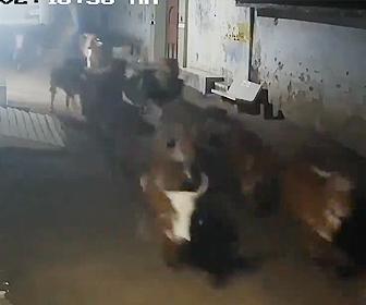 【動画】インドの村で牛や犬がライオンから必死に逃げる衝撃映像