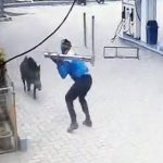 【動画】大暴れするイノシシ VS 鉄パイプを持った男性
