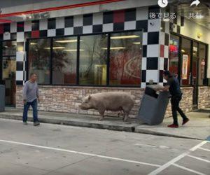 【動画】ブタがハンバーガーショップに現れ店員が移動させようとするがビクともしない衝撃映像