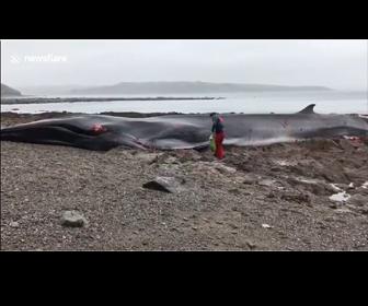 【動画】海岸に巨大なナガスクジラが打ち上げられ救助しようとするが…