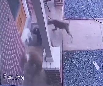 【閲覧注意動画】ピットブルの群れが小型犬に襲いかかる衝撃映像
