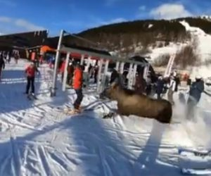【動画】スキー場で客が大勢いるゲレンデを巨大なヘラジカが駆け抜ける衝撃映像