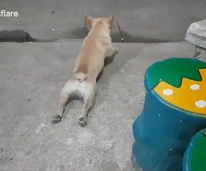 【動画】後ろ足が動かないフレンチブルドッグがコンクリートを這って進むが…