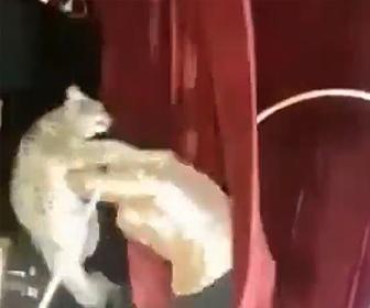 【動画】サーカスの公演中、オオヤマネコが暴れ出しトレーナーに襲いかかる衝撃映像