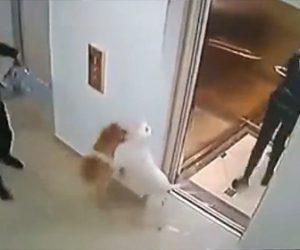【動画】女性が散歩する小型犬にエレベーターのドアが開いた瞬間ピットブルが襲いかかって来る