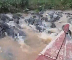 【動画】ワニが大量にいる川をボートで走る衝撃映像