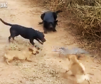 【動画】オオトカゲ VS4匹の犬 オオトカゲが犬に飛びかかっていく衝撃映像