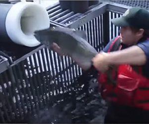 【動画】大量のサーモンを運ぶ画期的な方法