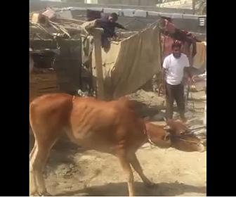 【動画】牛を柱に縛り付け屠殺しようとするが、牛が大暴れし…