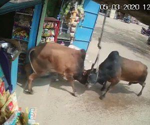 【動画】激しく戦う牛が店に突っ込んでくる衝撃映像
