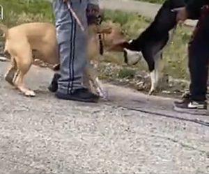 【動画】ピットブルが散歩中の小型犬に噛み付き必死に飼い主が助けようとするが…