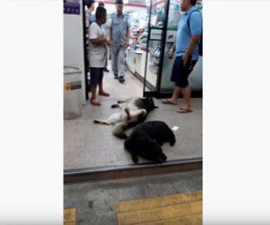 【動画】コンビニ入口で眠っている犬が凄い!