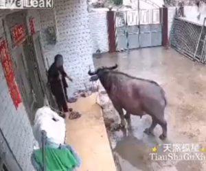 【動画】門から侵入してきた牛がおじいさんに襲いかかる衝撃映像