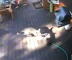 【動画】フレンチブルドッグにコヨーテが襲いかかり飼い主が必死に助ける衝撃映像