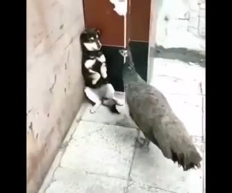 【動画】子犬VSクジャク 必死に子犬が吠えるが…