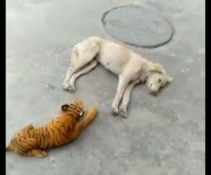 【動画】寝ている犬の横に大きなトラのぬいぐるみを置く→犬が起きると…
