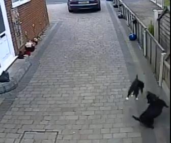 【動画】道端にいるネコに散歩中のピットブルが襲いかかる。ネコは必死に逃げるが…