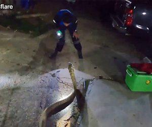 【動画】巨大キングコブラ VS 爬虫類ハンター