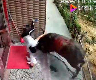 【動物】家の前で子供を抱く母親に巨大な水牛が襲い掛かってくる衝撃映像