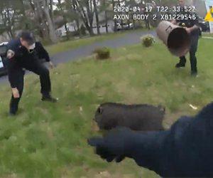 【捕獲】逃げ回るブタを警察官3人が必死に追いかけて捕まえる衝撃映像