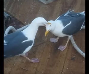 【動物】飲み込んだ魚を無理やり吐き出させ奪い取るカモメが凄い