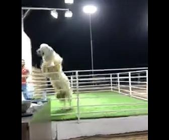 【動物】オークション中のヒツジが柵を飛び越え逃げ出してしまう衝撃映像