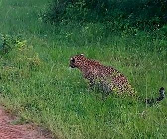 【動物】ヒョウがウサギに襲い掛かる。猛スピードでヒョウが追いかけるが…