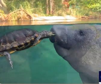 【動物】マナティーとカメが仲良く泳ぐ衝撃映像